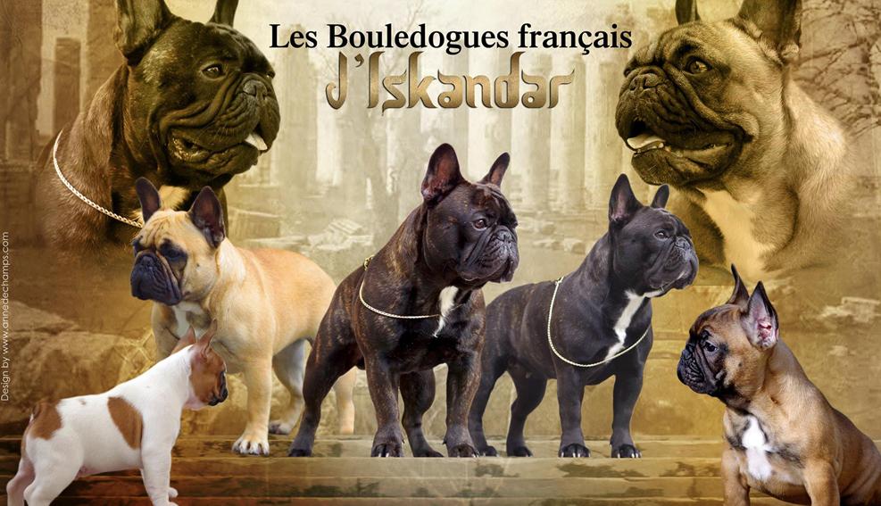 un elevage bouledogue français de qualité? Iskandar